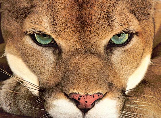 When You Meet a Cougar!
